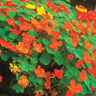 Plant nasturtium with cabbage, cucumbers, radishes, and fruit trees to repel squash bugs, white flies, and cucumber beetles. The blooms also keep aphids from nibbling on fruit trees. | Photo: Courtesy of iStockPhoto.com | thisoldhouse.com