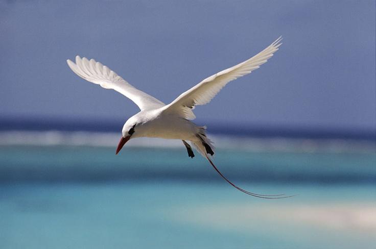 © Michael Pitts/Phaethon Rubricauda/Paramount Pictures  Fliegender Rotschwanz-Tropikvogel (Midway Atoll, Pazifischer Ozean)