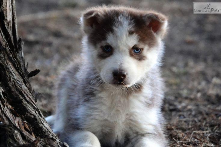Siberian Husky puppy for sale near Topeka, Kansas | d404381d-9901