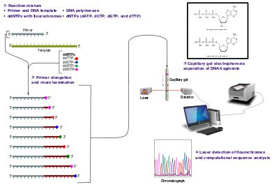 Sanger sequencing - Wikipedia