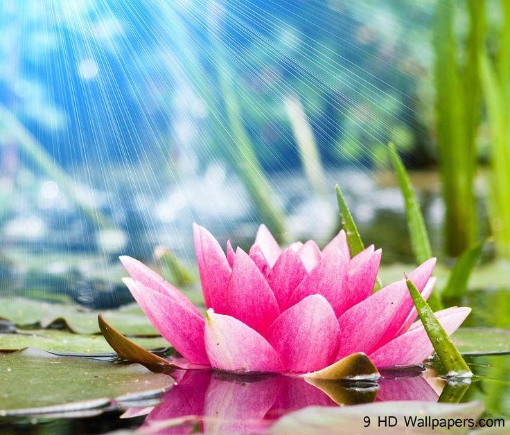 25+ Best Ideas About Lotus Flower Wallpaper On Pinterest