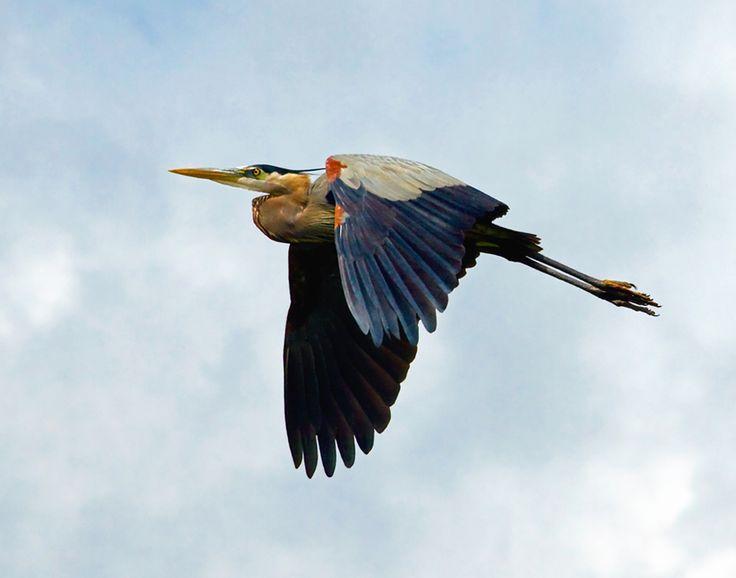 flying heron - Google Search