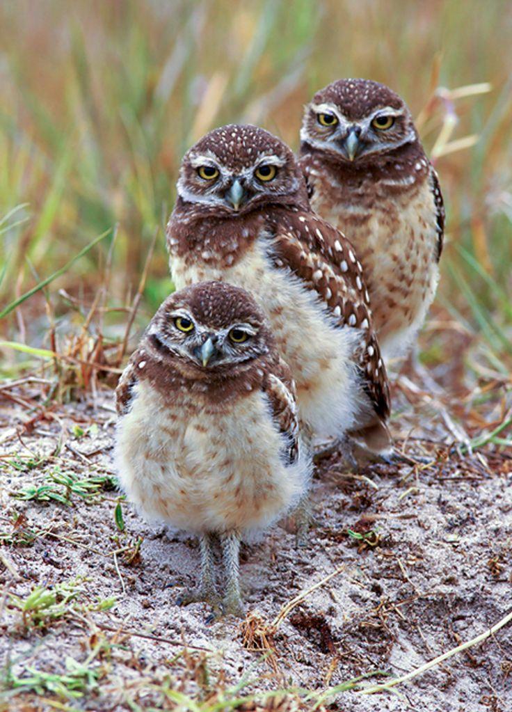 Burrowing Owls. Photo: Jack Rogers/Audubon Photography Awards.
