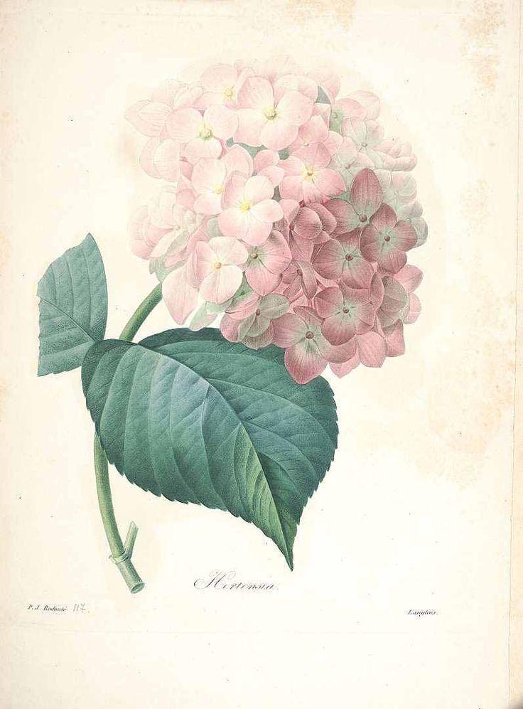 Les 25 meilleures id es de la cat gorie belles fleurs sur - Comment faire secher des hortensias ...