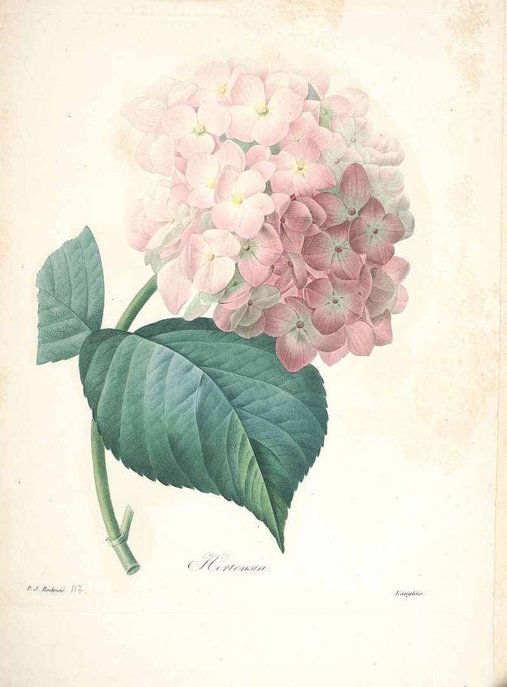 Hydrangea [as Hortensia]  Redouté, P.J., Choix des plus belles fleurs et des plus beaux fruits, t. 117 (1833) [P.J. Redoute]