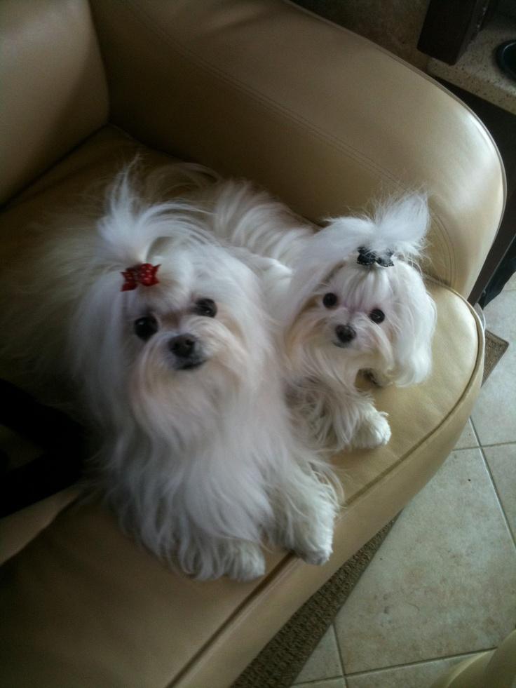Maltipoo Puppies For Sale In Dayton Ohio Ideas