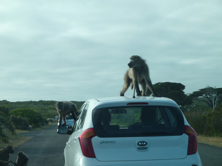 Baboons attacking car, Cape peninsula, South Afica