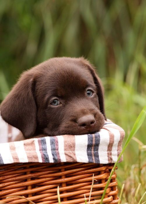 Chocolate lab puppy in a basket - too cute!