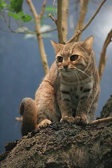 The Rusty-spotted Cat (Prionailurus rubiginosus) is the cat family's smallest member and found only in India and Sri Lanka