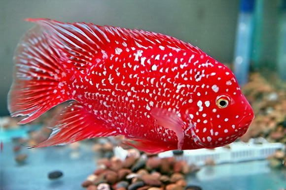 Red Texas cichlid                                                                                                                                                                                 More