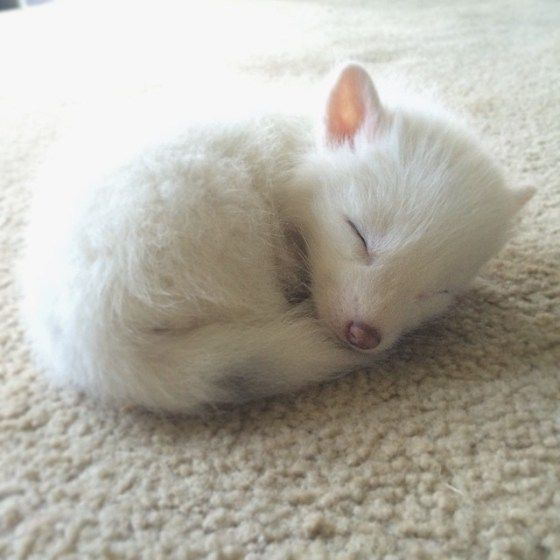 Rylai - a Siberian white fox baby. So cute, it's unreal! <3