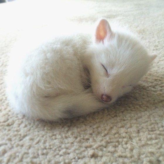Rylai - a Siberian white fox baby. So cute, it's unreal! <3