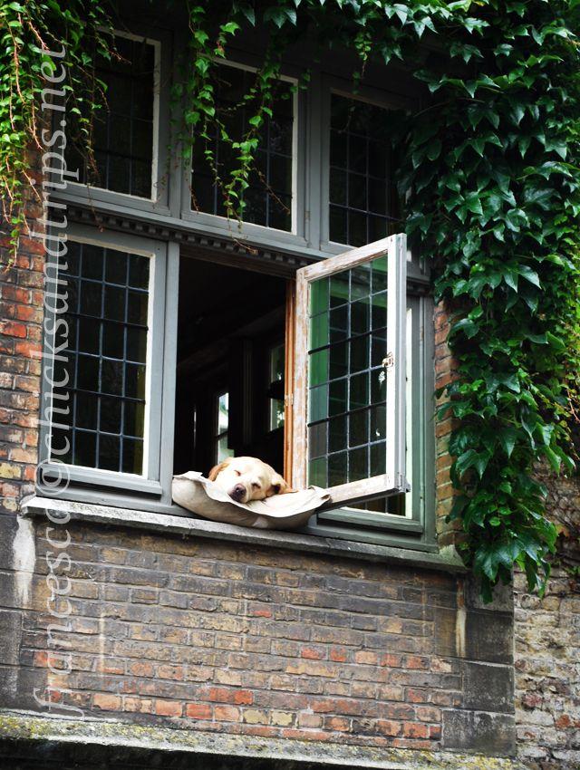 Sleeping dog in Bruges