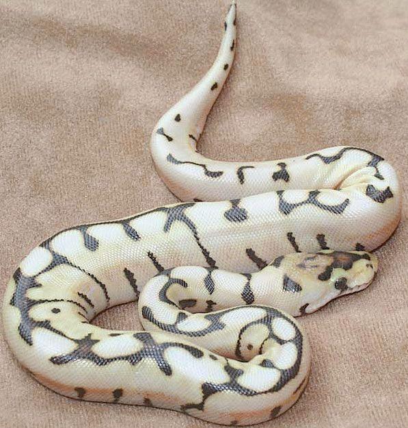 Desert Spider Ball Python