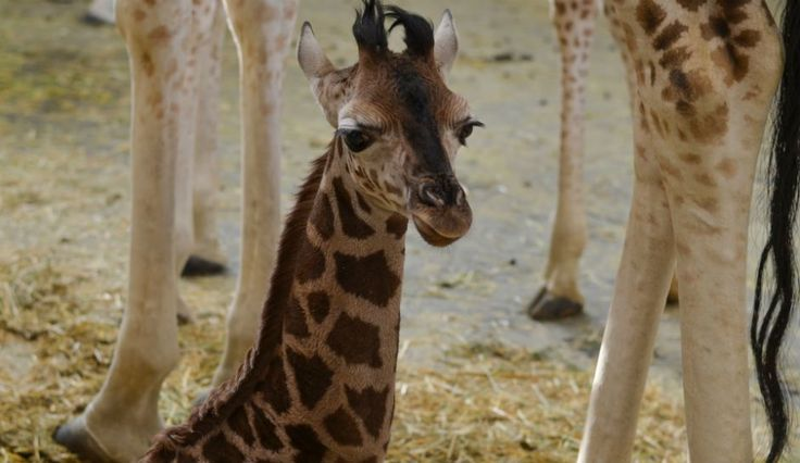 April The Giraffe Latest News And Animal Adventure Park Update: Watch Live Cam, 'GMA' And AAP Calf Videos