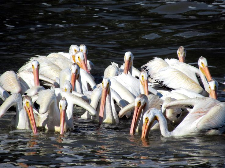 Unlike the brown pelican which dives for food, American white pelicans hunt as a group while swimming. These birds seen on the Red River at Lockport, Manitoba, Canada, migrate south in winter.
