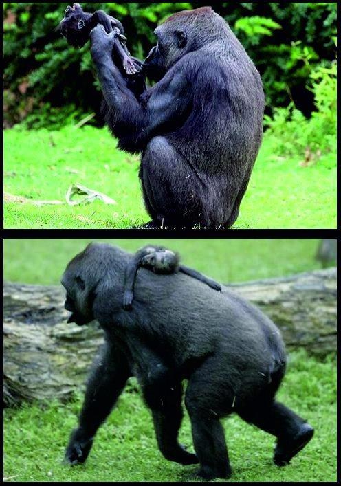 Wer zweifelt hier noch daran, das Tiere Emotionen ziegen können?  Die Gorilladame Gana aus dem Zoo in Münster hielt ihr Baby Claudio in ihren Armen, als es - wahrscheinlich aufgrund eines Herzfeh  lers - starb. Gana kann den Tod ihres Babies nicht hinnehmen, hält seinen Körper wie eine Puppe und wartet vergeblich auf ein Lebenszeichen ihres toten Babies. Die Zoobesucher_innen mussten ihre Tränen zurückhalten beim Anblick der Gorilladame, die untröstlich über den Tod ihres Sohnes war.