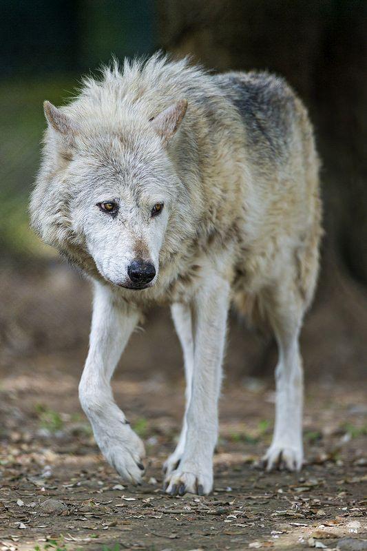 Cute Walking Timberwolf Animals Wolves Pinterest