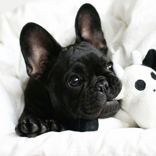 Buldogue frances - French Bulldog