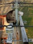 Raccoon with head stuck in jar rescued from atop New Jersey utility pole - http://cringeynews.com/offbeat-news/raccoon-with-head-stuck-in-jar-rescued-from-atop-new-jersey-utility-pole/