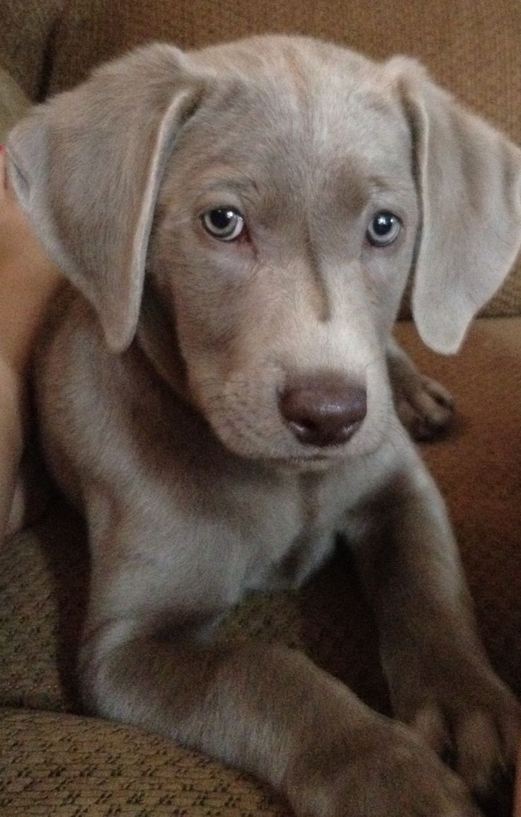 Weimaraner Puppy ~ happy, loving, intelligent, cheerful and affectionate.The breed is several centuries old and a decedent of the Bloodhound.