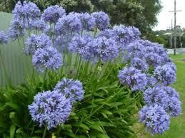 Agapanthus africanus (A. orientalis) Blue Lily of the Nile. These grow all over California. Love them. They are long blooming and come back every year and are no trouble to grow.
