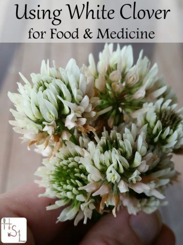 "homemade-medicines-and-foods-using-white-clover Homesteading  - The Homestead Survival .Com     ""Please Share This Pin"""