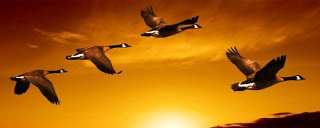 Την επόμενη φορά που θα δείτε χήνες να πετούν σε σχηματισμό V προς τον νότο για να περάσουν τον χειμώνα, ίσως σας περάσει από το μυαλό η εξήγηση που η επιστήμη δίνει για την αιτία που πετούν με αυτόν τον τρόπο. Όταν η κάθε χήνα χτυπά τα φτερά της, δημιουργεί ανοδικό ρεύμα για εκείνη που …