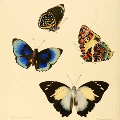 GIF of beautiful butterfly illustrations from the 1800s. In the public domain on Wikimedia Commons.