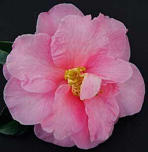 Camellia Sasanqua 'Egao'