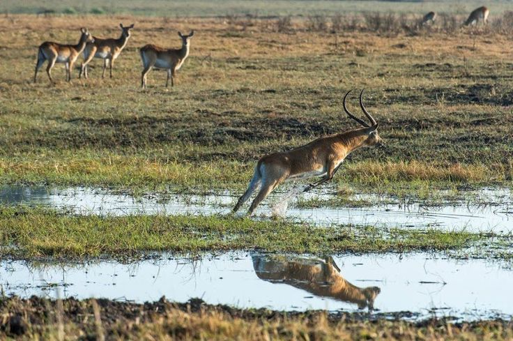 Lechwe in the Busanga Plains #Zambia #Kafue #safari