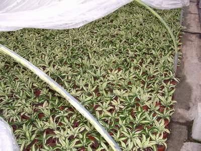 #Dracaena -Produktion im großen Stil: Der Anbau der einzelnen Dracaena-Sorten geschieht im warmen Gewächshaus. Zu den Bedingungen: Die Pflanzen bekommen viel Licht, sind aber nicht direkt dem Sonnenlicht ausgesetzt. Eine Benebelungsanlage an der Decke sorgt für eine hohe Luftfeuchtigkeit. Die Pflanzen sind dadurch aber nicht nass. Die Stecklinge kommen direkt in Töpfe. Je langsamer ein Drachenbaum wächst, desto mehr grün in den Blättern! Je schneller, desto weniger grün, desto mehr bunt…