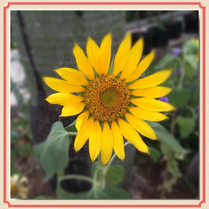 Sunflower..