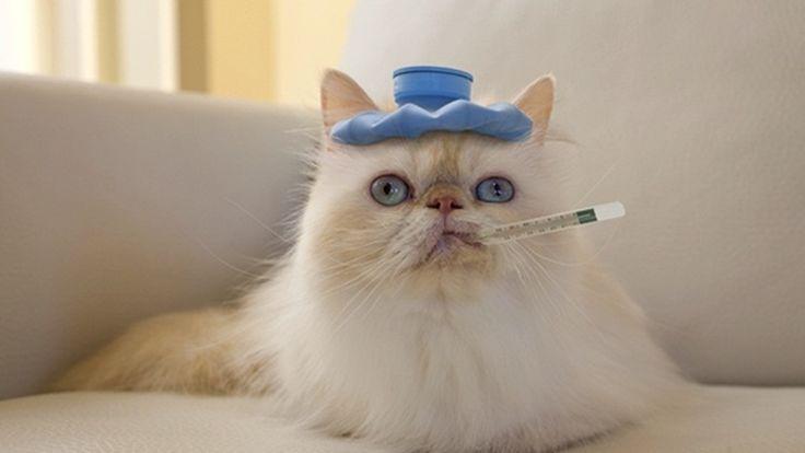 Si tu gato estornuda y tiene mocos puede que esté resfriado. Te contamos cómo curar el catarro en gatos, cuánto dura el tratamiento y cómo prevenirlo.