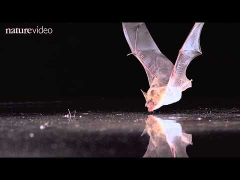 This stunning slow motion footage shows how bats use echolocation to find water.