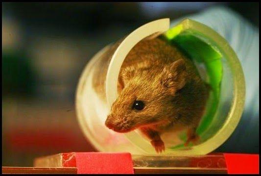 Pesquisadores encontram no cérebro de ratos região do cérebro responsável pela motivação para exercícios, e já apontam futuras aplicações pa...