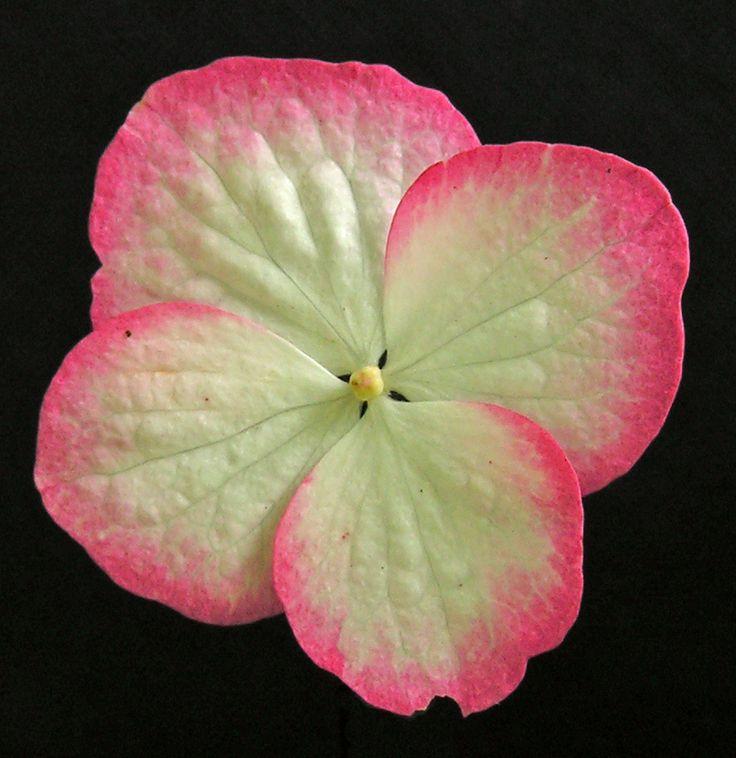 Hydrangea serrata 'Kiyosumi' ray floret.