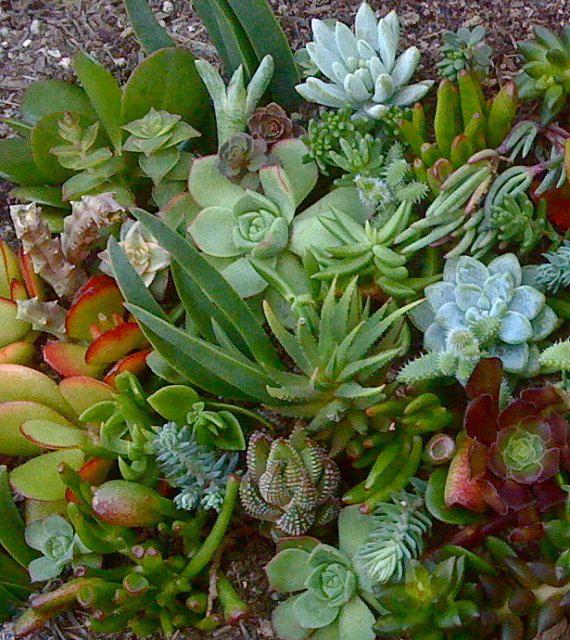 30 SUCCULENT CUTTINGS - Succulent plants, Succulent Wedding Favors. $17.50, via Etsy.