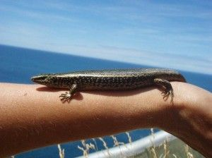 An article with some advice on skink & gecko friendly NZ native plants to plant in your garden.