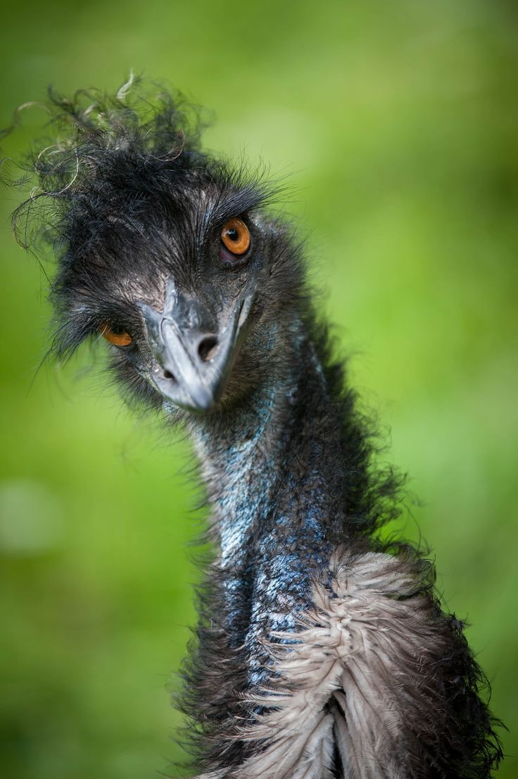 ♀ bird with cray feather hair Stylish Emu by Justin Lo