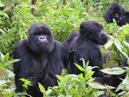 gorilla safaris-uganda tour