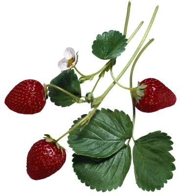 Tristar strawberries (Fragaria spp.), a day-neutral variety, produce firm, medium-sized fruit throughout the growing season, with the heaviest yield in the fall. Day-neutral ...