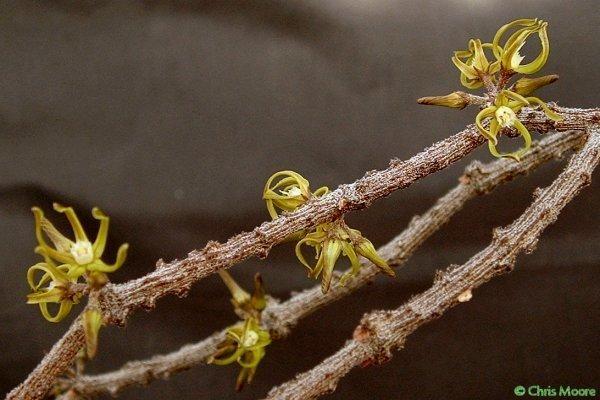 Cynanchum marnierianum Rauh