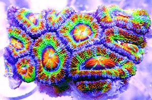 Cornbred's Panther Chameleon Acan QUICK STATS Care Level: Easy Temperament: Semi-aggressive Lighting: Moderate Waterflow: Low to Medium Placement: Bottom Water Conditions: 72-78° F, dKH 8-12, pH 8.1-8.4, sg 1.023-1.025 Color Form: Assorted Supplements: Calcium, Magnesium, Strontium, Trace Elements Origin: Aquacultured - USA Family: Mussidae