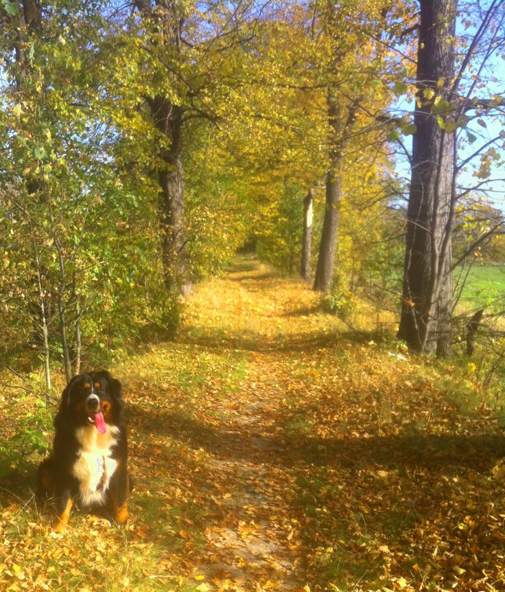 Elessar #dogs #animal #bernese #mountain
