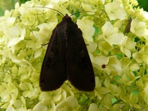 Noctua pronuba: the large yellow underwing | The Nature of Dorset