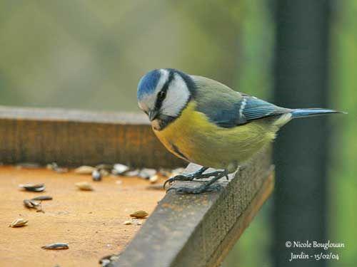 Le bien-être des oiseaux des jardins