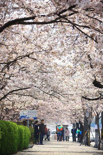 Yeouido Cherry Blossom Festival in Seoul, Korea