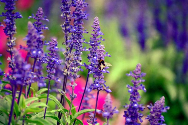 Salvia There are both annual and perennial varieties of salvia. They're all great for attracting bees, but if you choose a perennial variety you'll enjoy the benefits for many seasons.