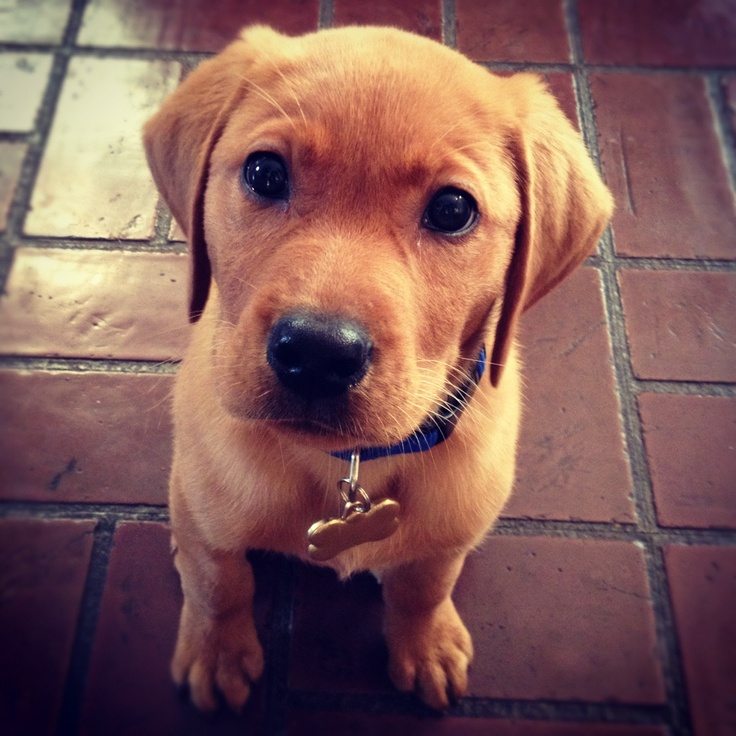 127 best images about Future puppy on Pinterest | Lab puppies ...